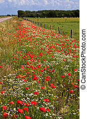 Wild poppy flowers in the verge of a road in spring