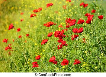 Wild Poppy Flowers on a field in summer
