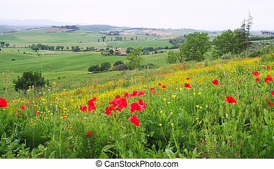 wild poppy'd and buttercups in tuscany