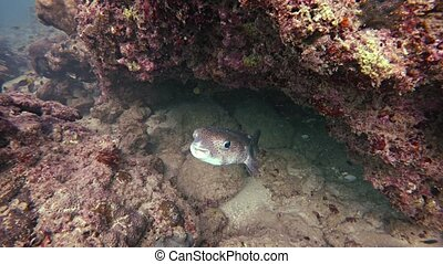 Solitary, wild porcupinefish, cohabitating with other various species in the rocky tropical shallows, emerges from hiding in the coral. Video 3840x2160