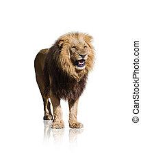 wild, porträt, löwe