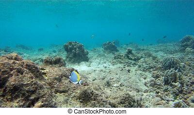 Fish Powder blue tang (Acanthurus leucosternon), swimming in andaman sea, Similan island, Thailand