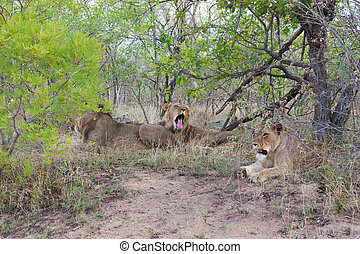 Wild Pride of lions in national Kruger Park in UAR, natural themed collection background, beautiful nature of South Africa, wildlife adventure and travel