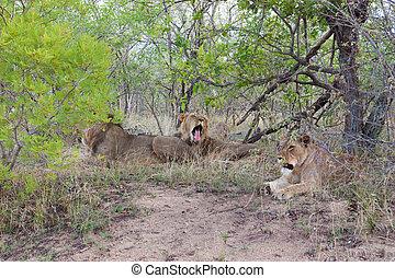Wild Pride of lions in national Kruger Park in UAR, natural ...