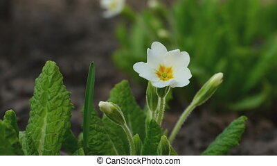 Primrose flower - Wild Primrose flower swaying in the spring...