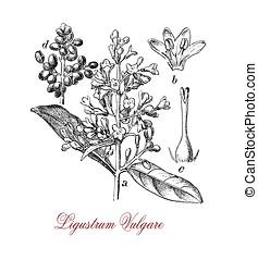 wild privet shrub, vintage print