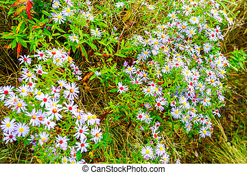 Wild purple chamomile flowers growing in field