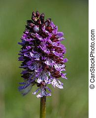 Wild purple orchid in a green meadow