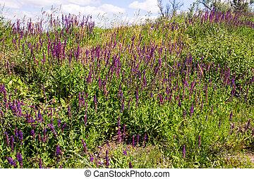 Wild purple salvia flowers on the meadow