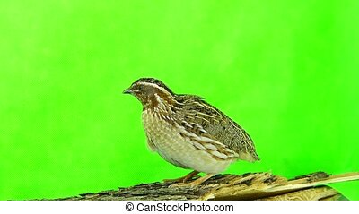 wild quail ( Coturnix coturnix) isolated on a green...