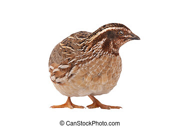 wild quail ( Coturnix coturnix) isolated on a white background