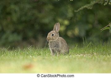 A wild rabbit sitting alert against a blurred background