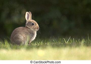 A wild rabbit sitting in grass at dawn