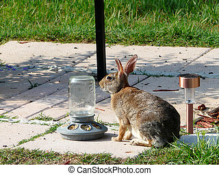 Wild rabbit preparing to eat from corn set out for birds in a backyard.