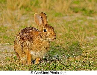 """Furry wild rabbit in Chicoteague, Virginia with mouth slightly open. This mammal carries a disease known as """"Tularemia"""" which is endemic in this area and can cause multiple types of infections if transmitted to humans."""