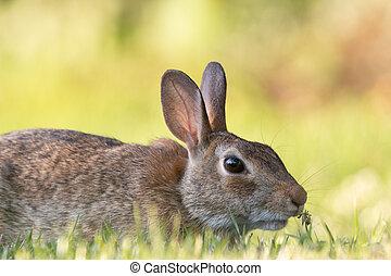 Wild Rabbit in the Grass