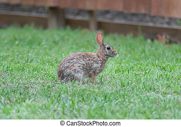 Wild rabbit in the green meadow yard