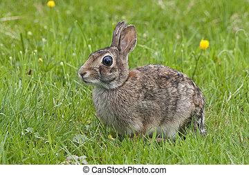 Wild brown rabbit eating grass in early spring.
