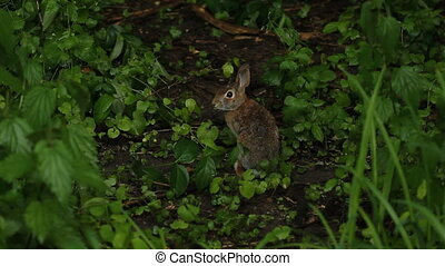 Wild rabbit in the Don Valley. Sits still for a bit and then runs away. Toronto, Ontario, Canada.