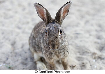 Wild rabbit with long ears and lively eyes
