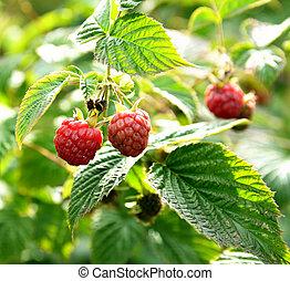 Wild raspberry bush in nature