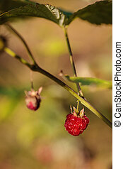 Wild raspberry in the summer forest