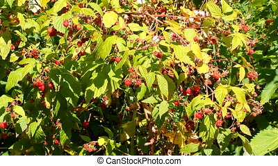 wild raspberry - wild-growing ripe sweet raspberry