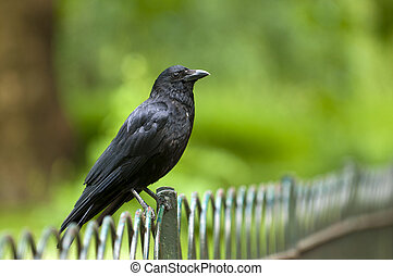 Raven - Wild Raven on a the green background.