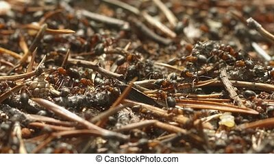 Wild red ants at work. Shallow depth of field. FullHD stock video