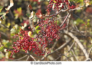 Wild red berries hang on bush branches