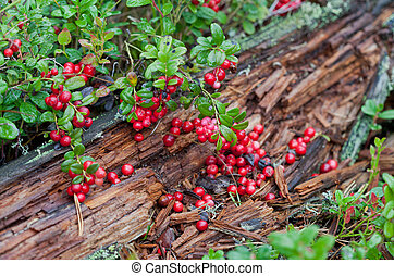 Wild red berries in the forest