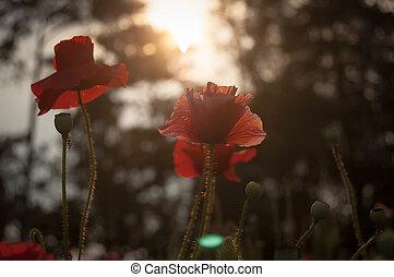 Wild red bright poppy flower