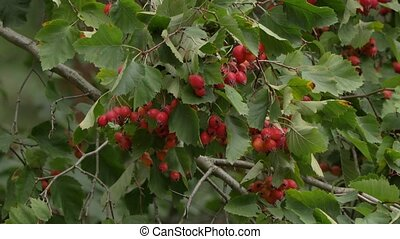 Wild red crab apple with green leaves slow motion