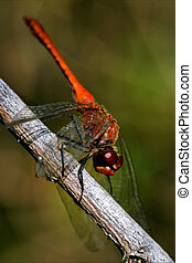 wild red dragonfly on