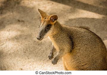 Wild red Kangaroo in the Zoo in Queensland, Australia