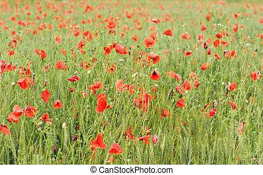 Wild red poppies growing in field of unripe green wheat