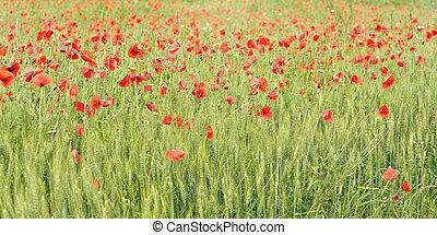 Wild red poppies growing in green field of unripe wheat