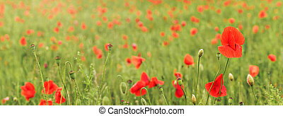 Wild red poppies growing in green field