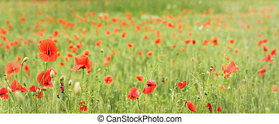 Wild red poppies growing in green wheat field, wide panorama banner