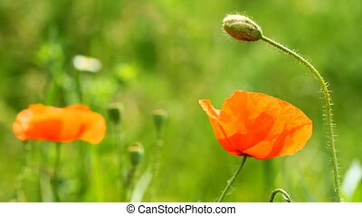 Wild Red Poppy Flowers on the green