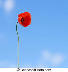 Wild red poppy - focus on flower - 1 to 1 ratio