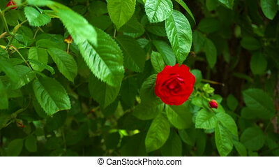 Wild red rose on the bush. Summer flower in the garden