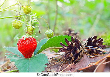 Wild red strawberry growing in forest