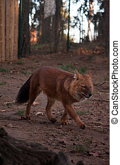 Wild red wolf running in the forest