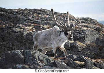 Wild reindeer - Arctic, Svalbard