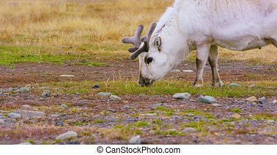 Wild reindeer eating in the in the arctic nature - Reindeer...