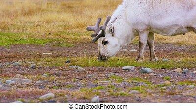 Wild reindeer eating in the in the arctic nature - Reindeer...