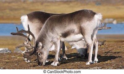 Wild reindeers in Arctic tundra - Svalbard - Wild reindeers...
