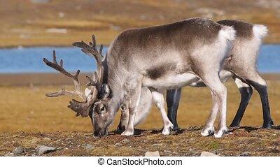 Wild reindeers in Arctic tundra - Spitsbergen