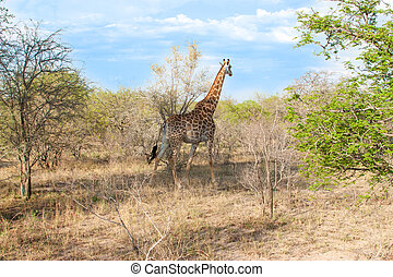 Wild Reticulated Giraffe and African landscape in national Kruger Park in UAR, natural themed collection background, beautiful nature of South Africa, wildlife adventure and travel